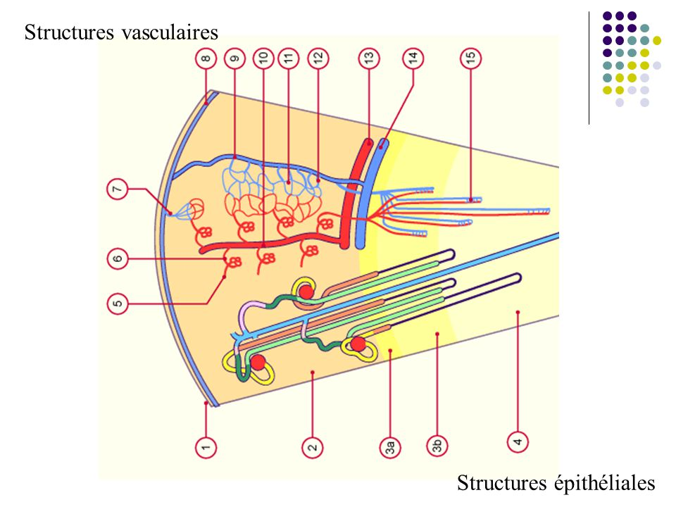 Structures vasculaires