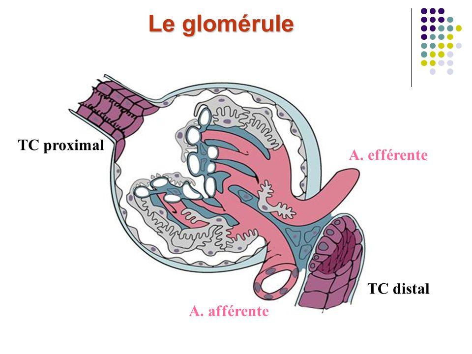 Le glomérule TC proximal A. efférente TC distal A. afférente