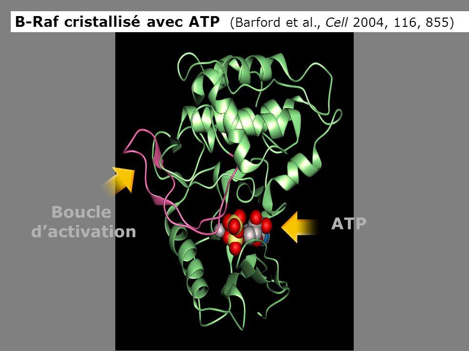 Boucle d'activation ATP