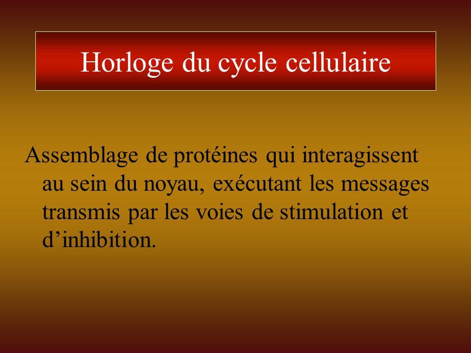 Horloge du cycle cellulaire