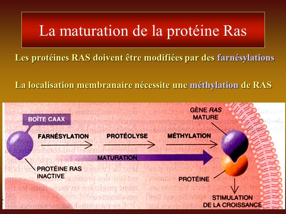 La maturation de la protéine Ras