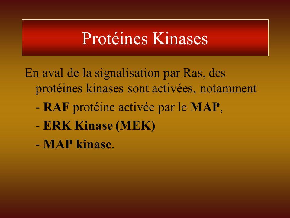 Protéines Kinases En aval de la signalisation par Ras, des protéines kinases sont activées, notamment.