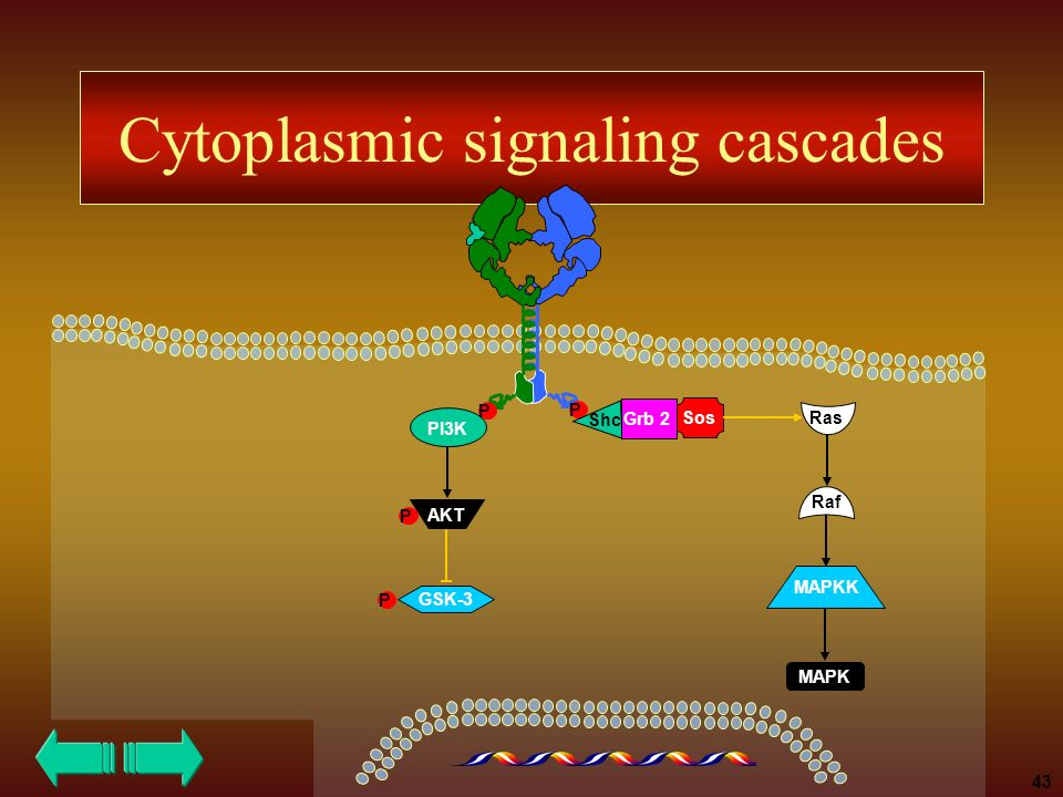Cytoplasmic signaling cascades