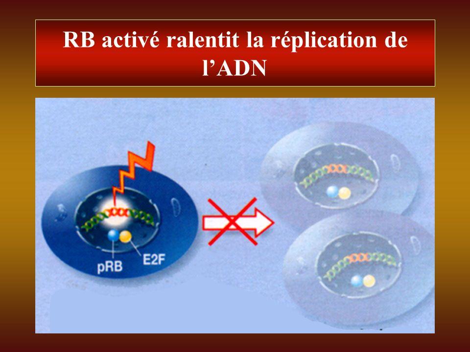 RB activé ralentit la réplication de l'ADN