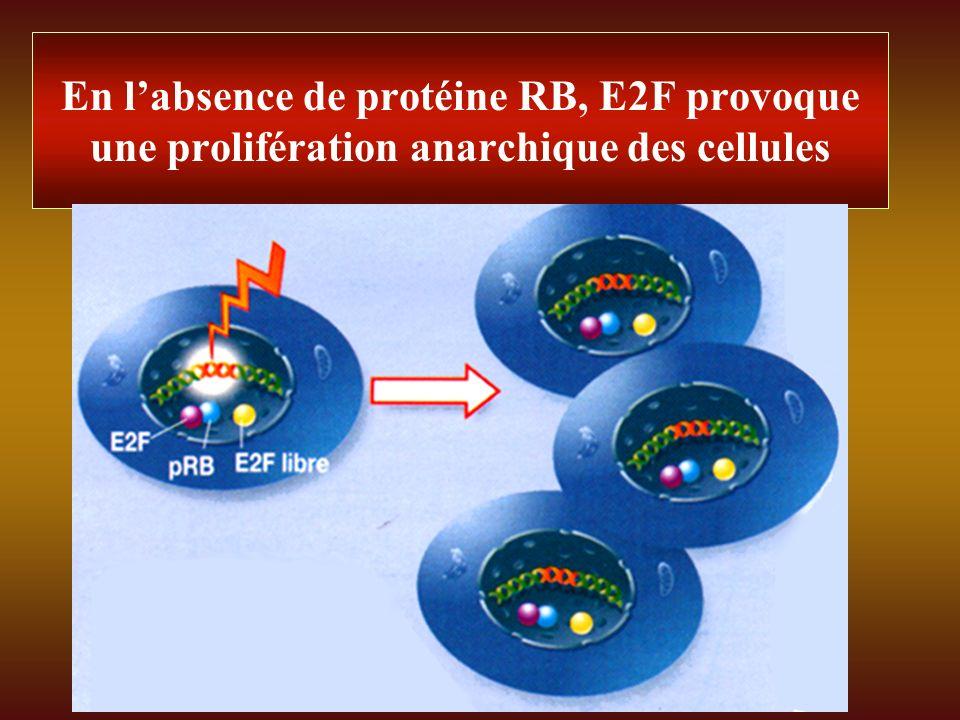 En l'absence de protéine RB, E2F provoque une prolifération anarchique des cellules