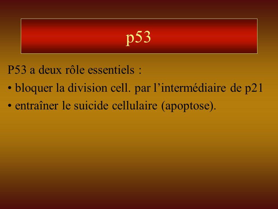 p53 P53 a deux rôle essentiels :