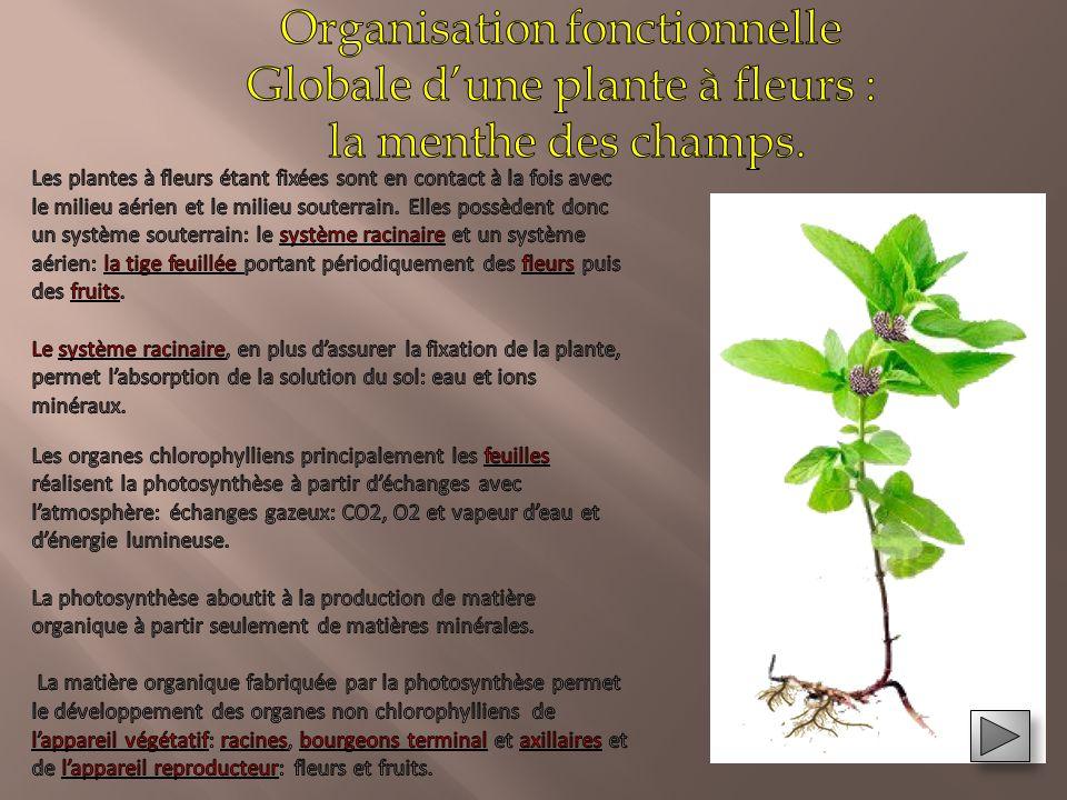 Organisation fonctionnelle Globale d'une plante à fleurs :