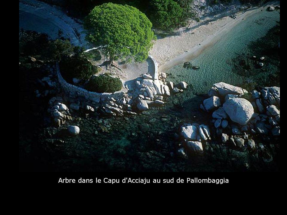 Arbre dans le Capu d Acciaju au sud de Pallombaggia
