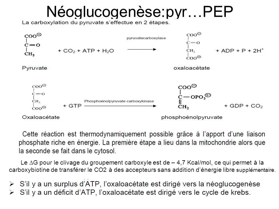 Néoglucogenèse:pyr…PEP