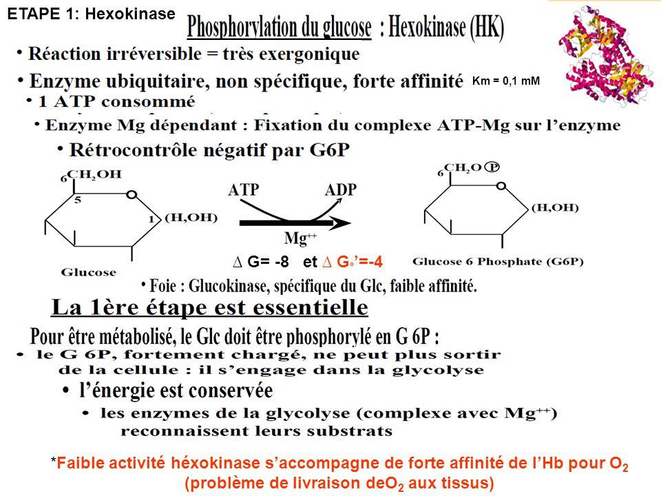 ETAPE 1: Hexokinase ∆ G= -8 et ∆ G°'=-4