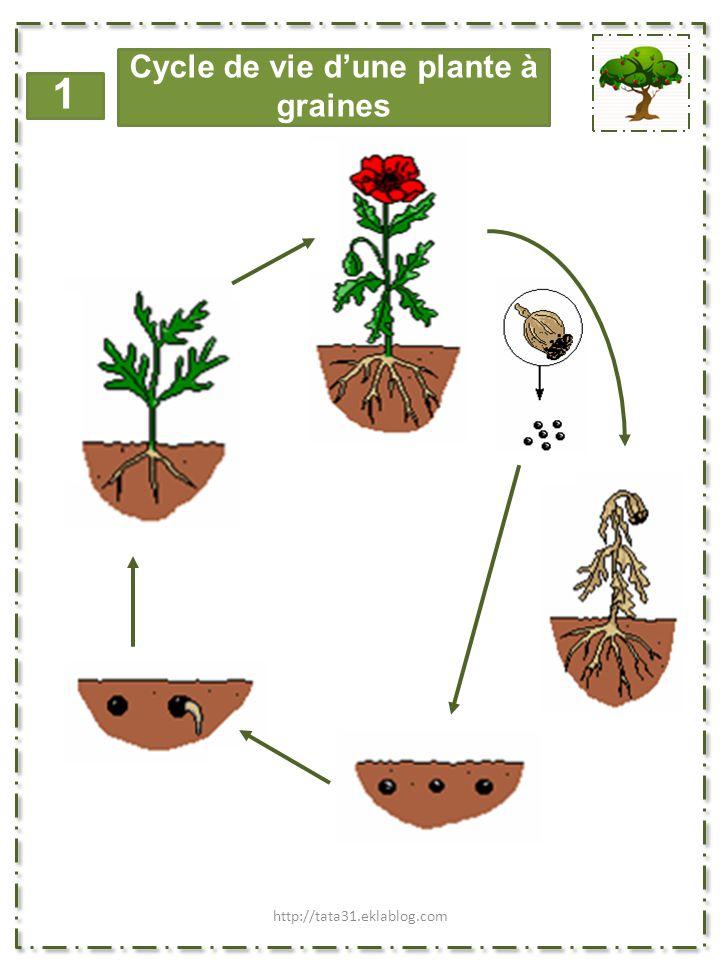 Cycle de vie d'une plante à graines