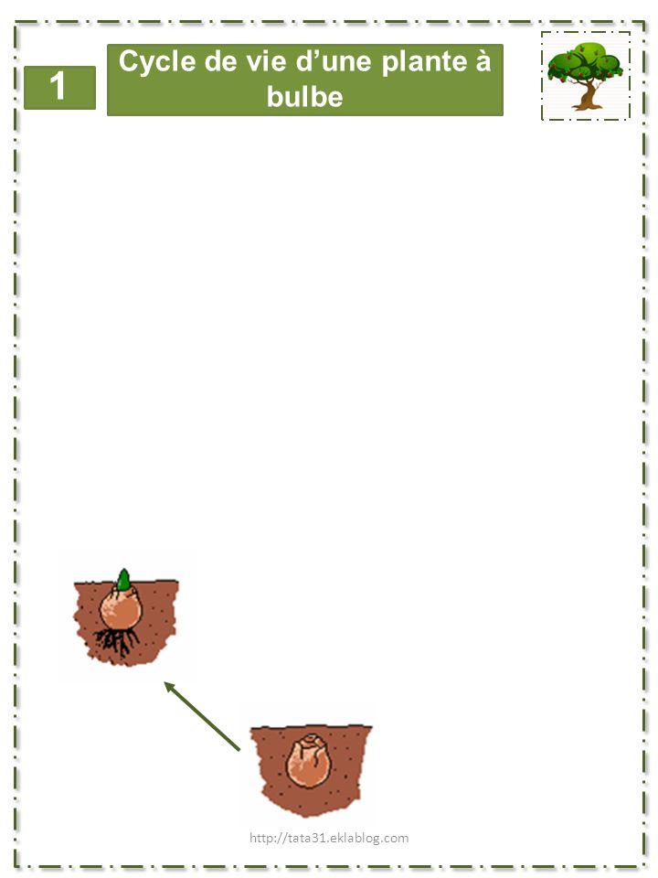 Cycle de vie d'une plante à bulbe