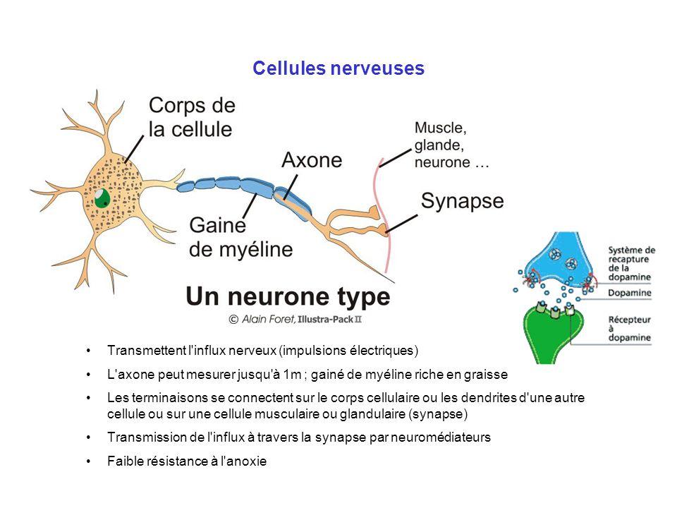 Cellules nerveuses Transmettent l influx nerveux (impulsions électriques) L axone peut mesurer jusqu à 1m ; gainé de myéline riche en graisse.