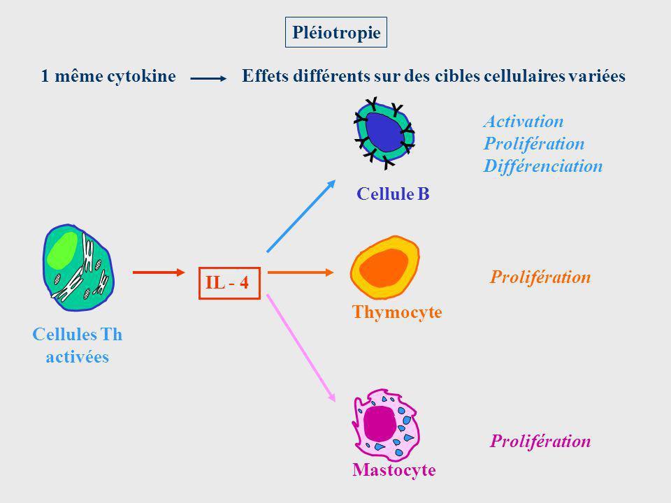 Pléiotropie 1 même cytokine. Effets différents sur des cibles cellulaires variées. Cellule B. Y.