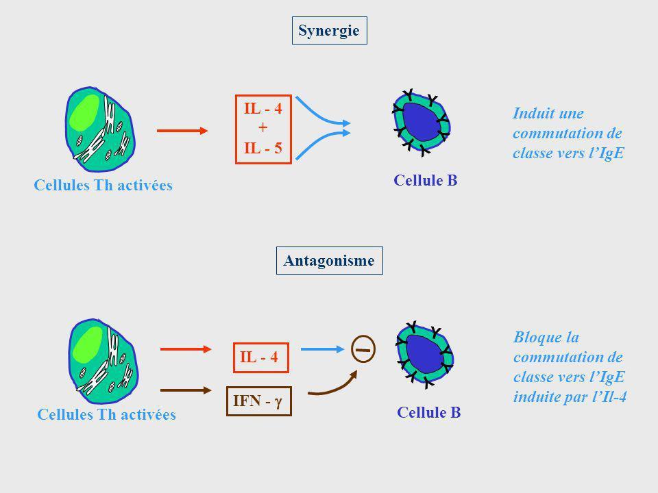 Synergie Cellule B. Y. IL - 4. + IL - 5. Cellules Th activées. Induit une. commutation de. classe vers l'IgE.