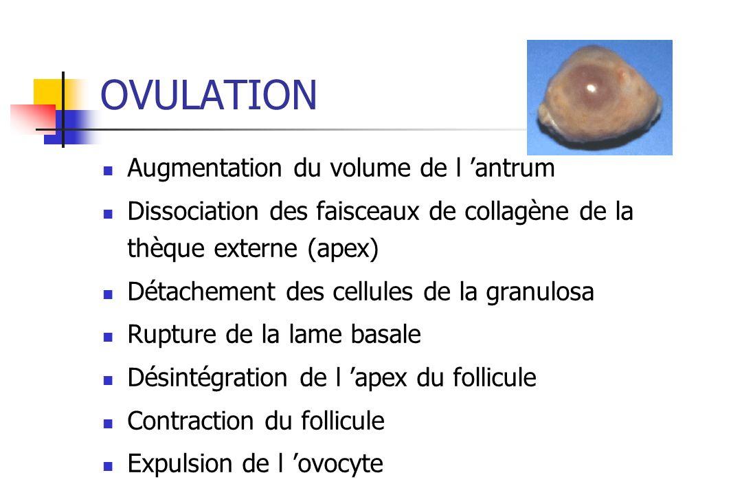 OVULATION Augmentation du volume de l 'antrum