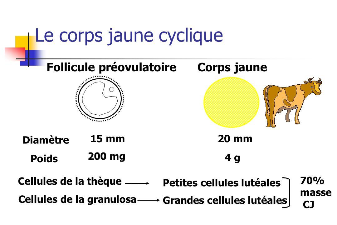Le corps jaune cyclique