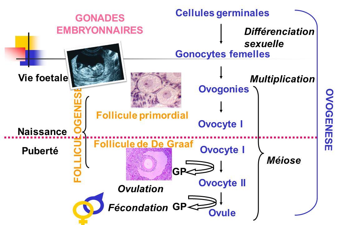 Cellules germinalesGONADES. EMBRYONNAIRES. Différenciation. sexuelle. Gonocytes femelles. Vie foetale.