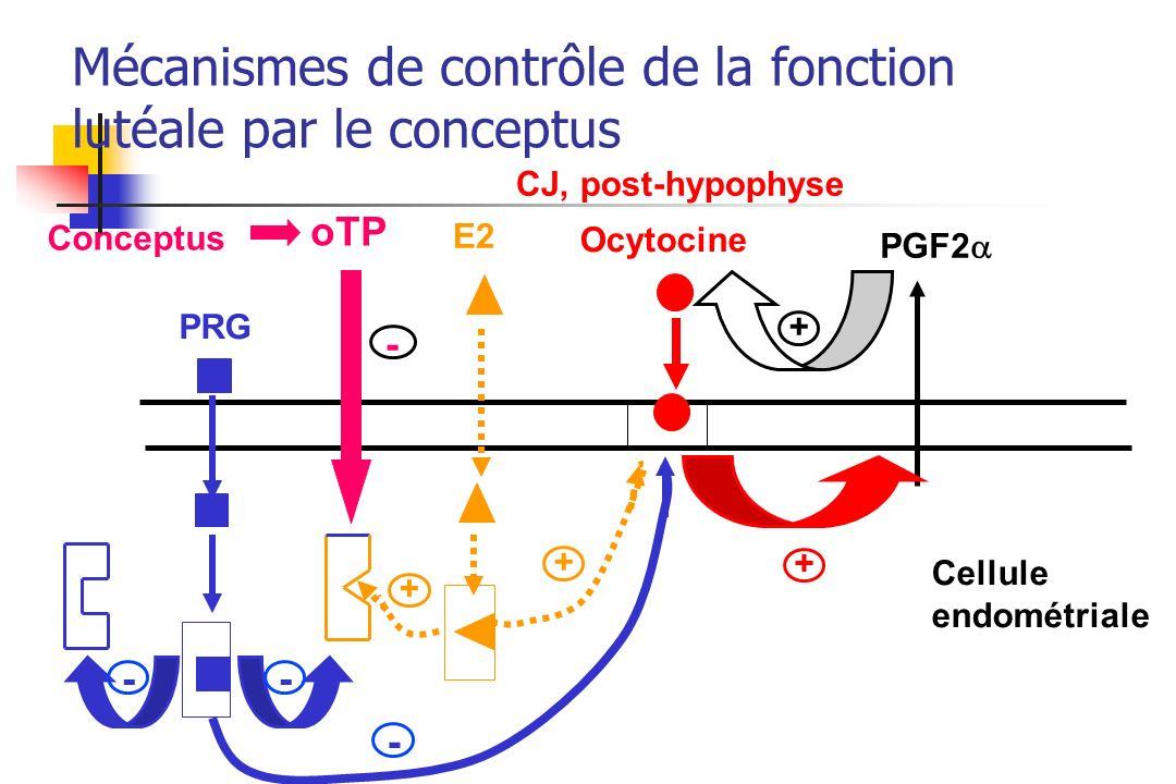 Mécanismes de contrôle de la fonction lutéale par le conceptus
