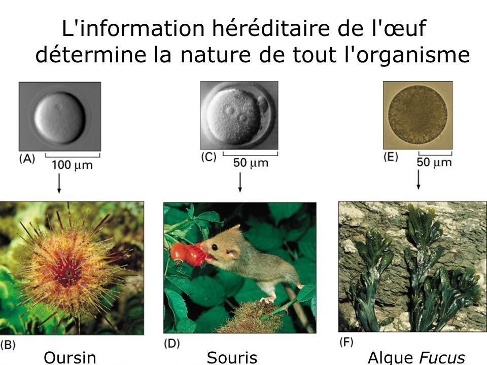 L information héréditaire de l œuf détermine la nature de tout l organisme
