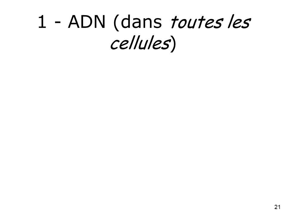 1 - ADN (dans toutes les cellules)