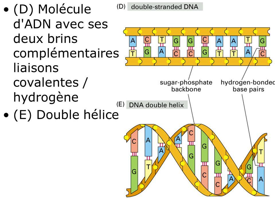 (D) Molécule d ADN avec ses deux brins complémentaires liaisons covalentes / hydrogène