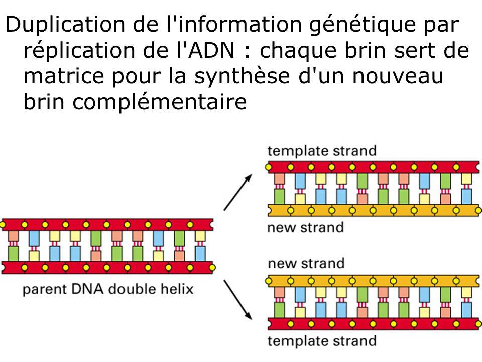 Duplication de l information génétique par réplication de l ADN : chaque brin sert de matrice pour la synthèse d un nouveau brin complémentaire