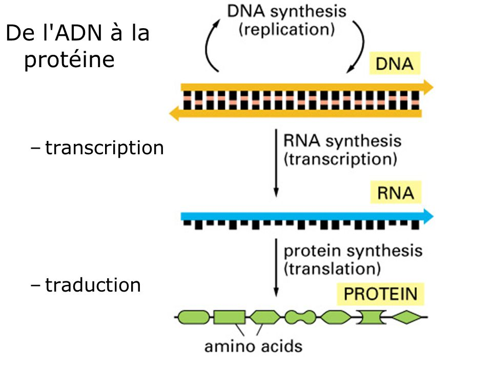 De l ADN à la protéine transcription traduction Fig 1-4