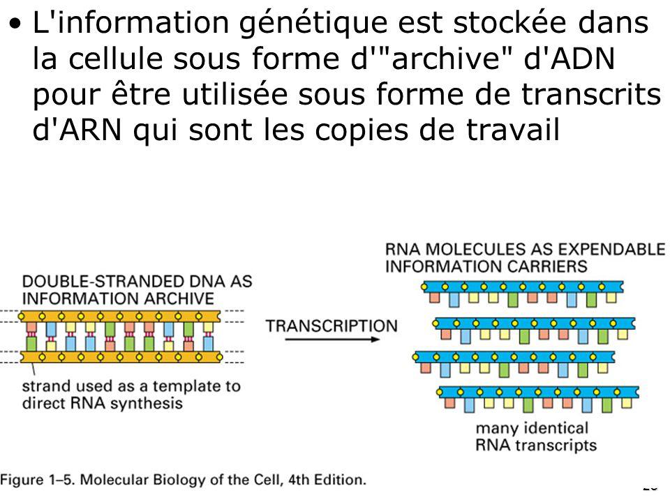 L information génétique est stockée dans la cellule sous forme d archive d ADN pour être utilisée sous forme de transcrits d ARN qui sont les copies de travail