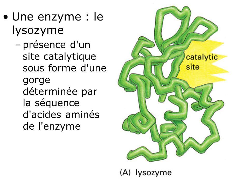 Fig 1-7(A) Une enzyme : le lysozyme