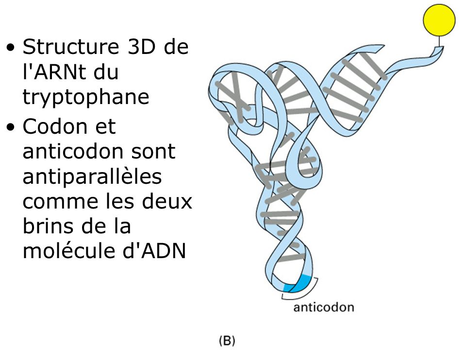Fig 1-9(B) Structure 3D de l ARNt du tryptophane