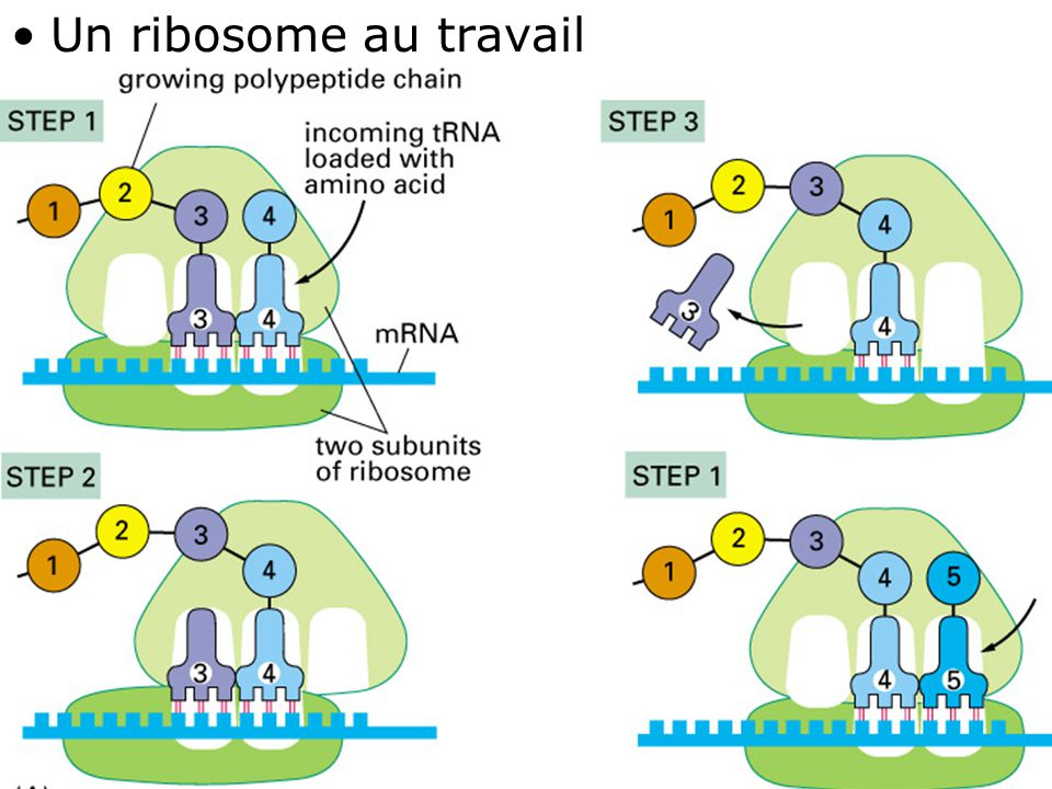 Un ribosome au travail Fig 1-10(A)