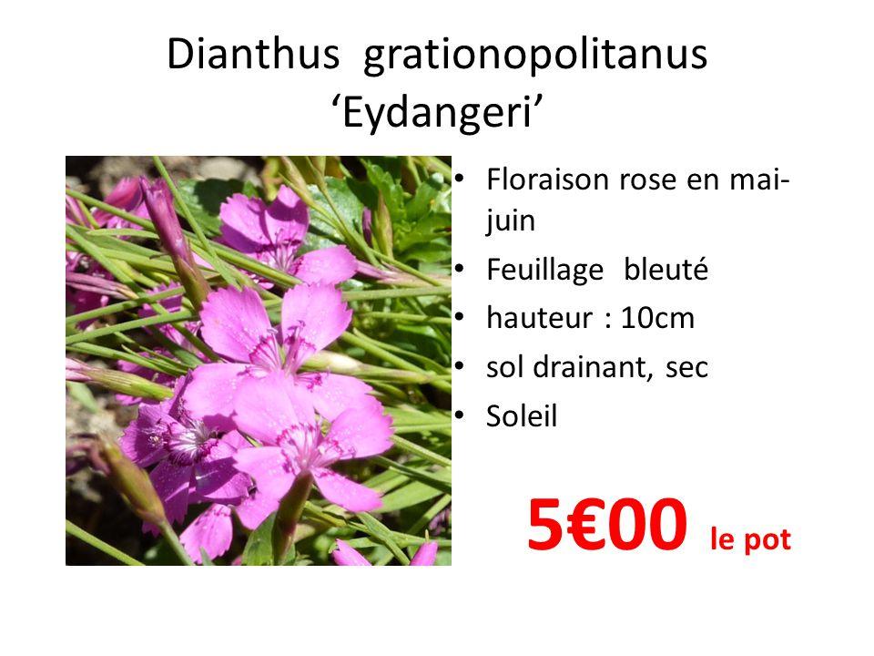 Dianthus grationopolitanus 'Eydangeri'