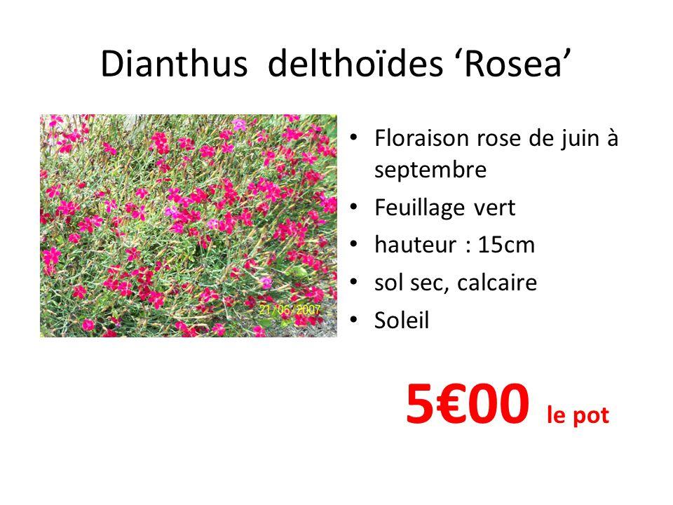 Dianthus delthoïdes 'Rosea'