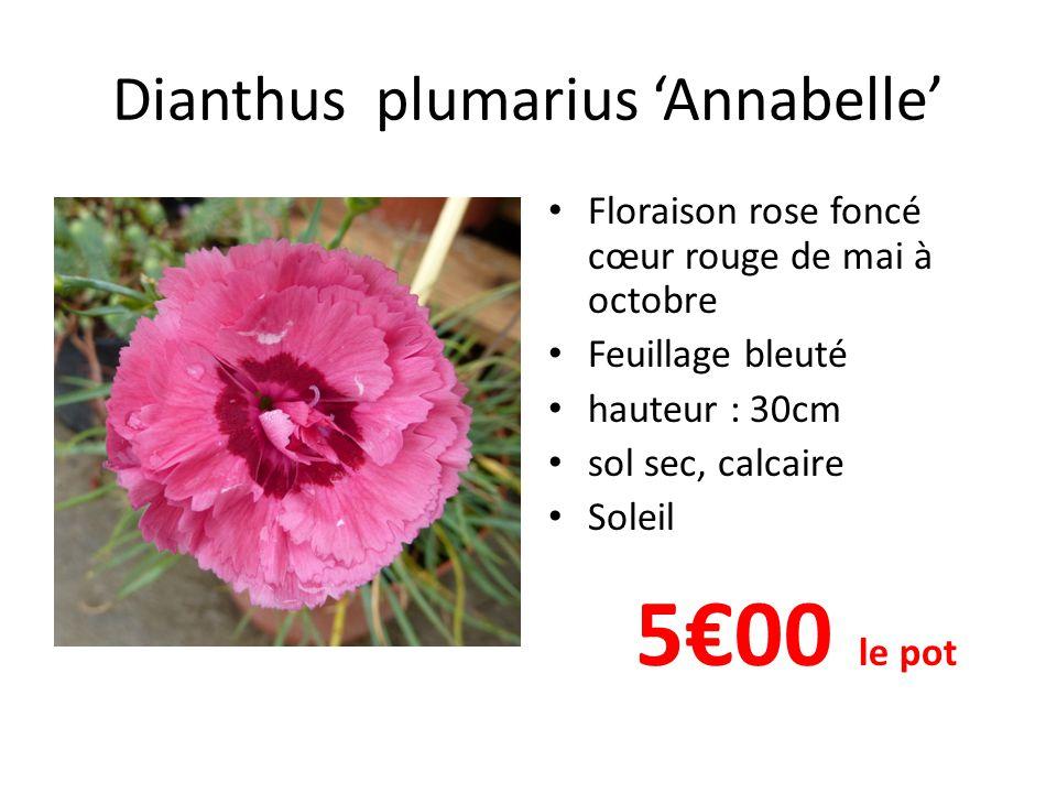 Dianthus plumarius 'Annabelle'