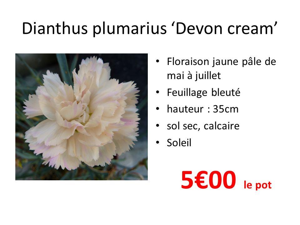 Dianthus plumarius 'Devon cream'