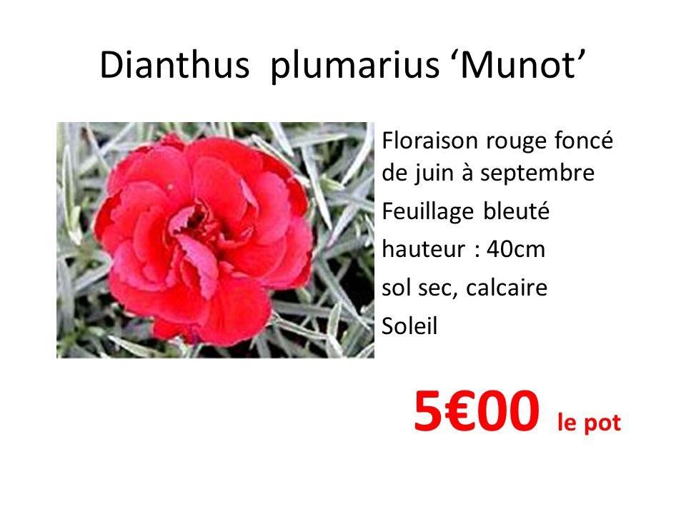 Dianthus plumarius 'Munot'
