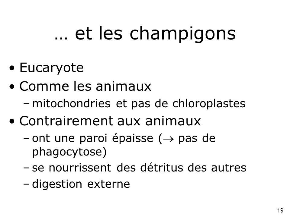 … et les champigons Eucaryote Comme les animaux