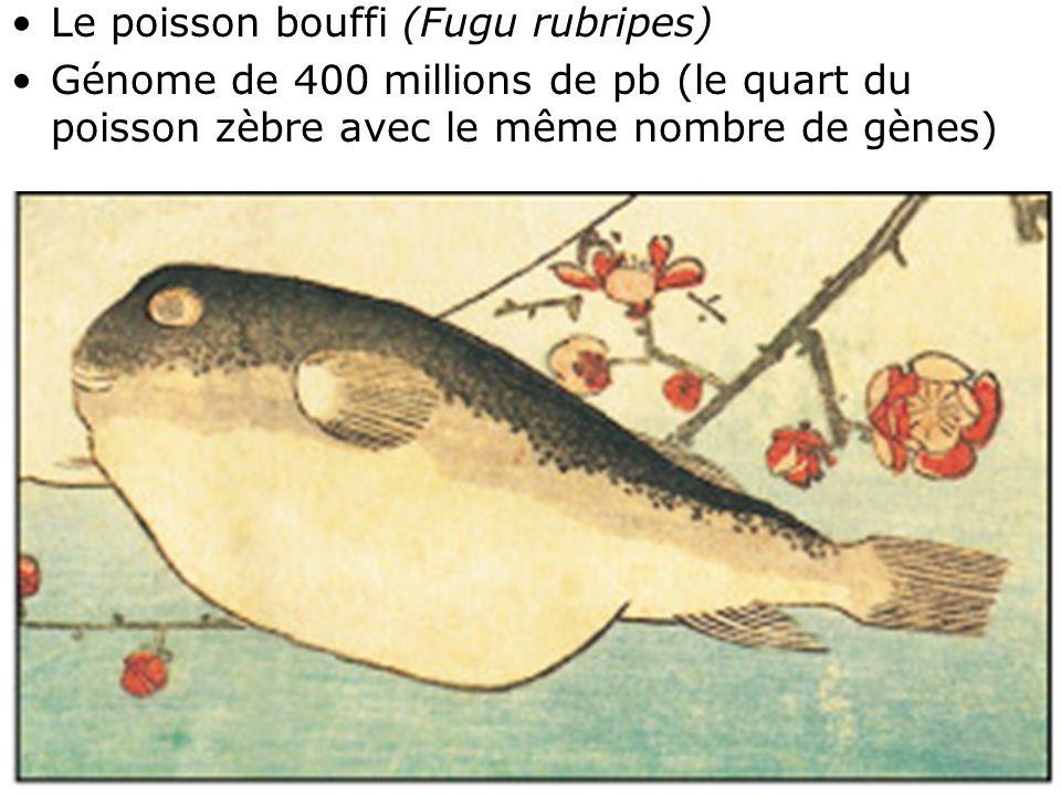 Fig 1-39 Le poisson bouffi (Fugu rubripes)