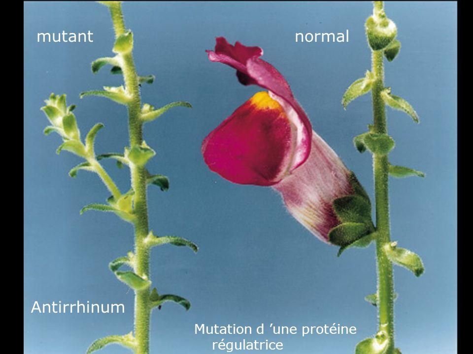 Fig 1-41 mutant normal Antirrhinum