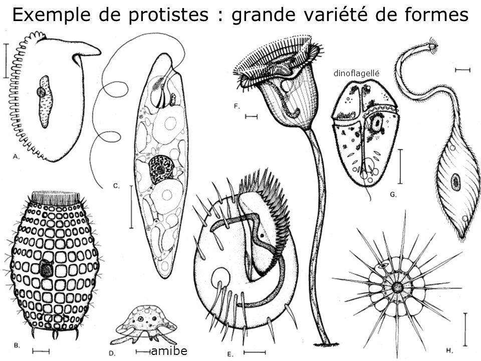 Exemple de protistes : grande variété de formes