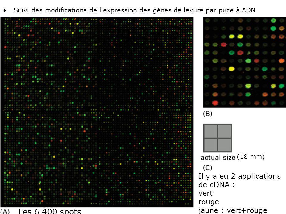 Fig 1-45 Les 6 400 spots Il y a eu 2 applications de cDNA : vert rouge