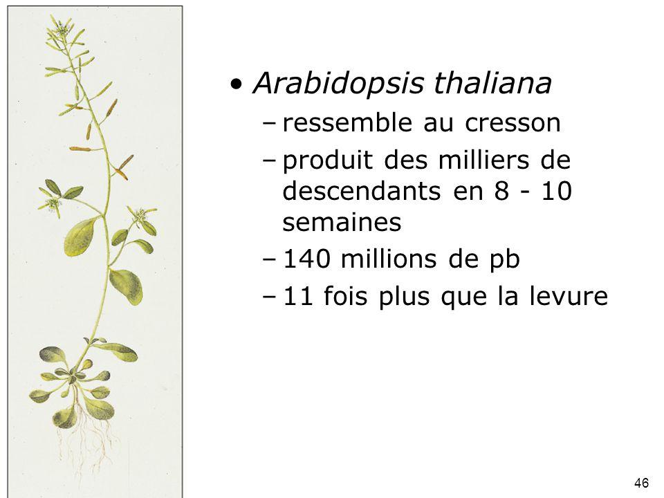 Fig 1-46 Arabidopsis thaliana ressemble au cresson