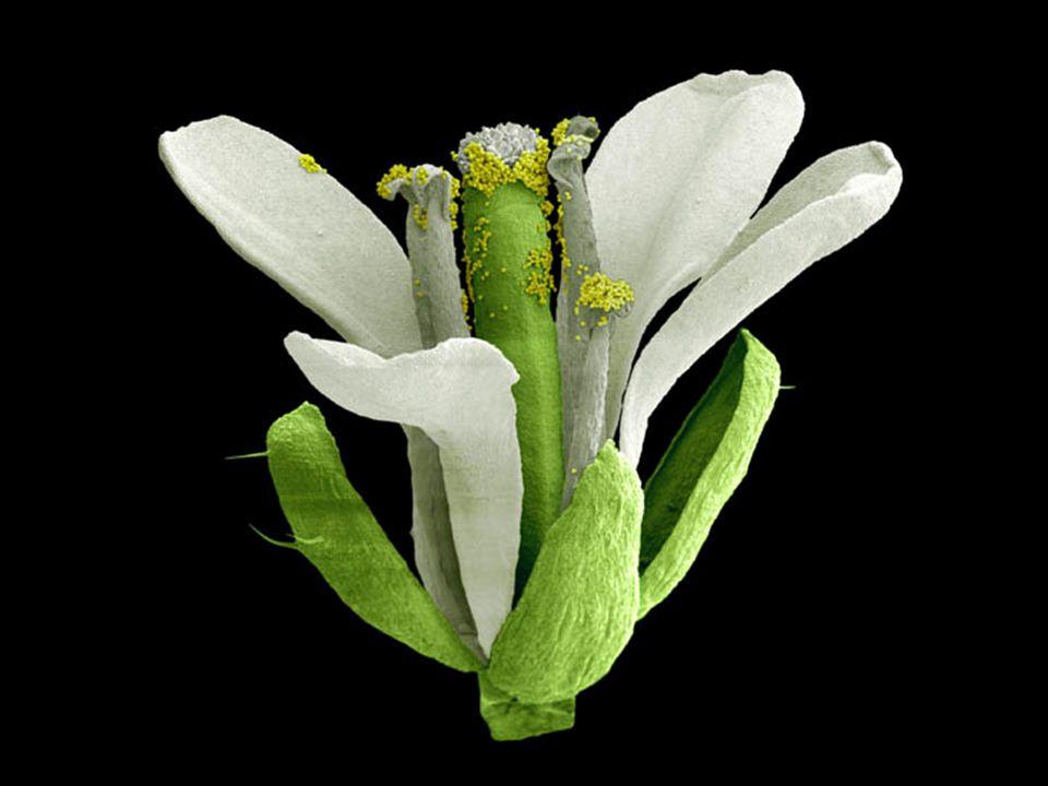 Lundi 9 octobre 2006 Arabidopsis thaliana wildtype flower. It is approximately 5 mm in size.