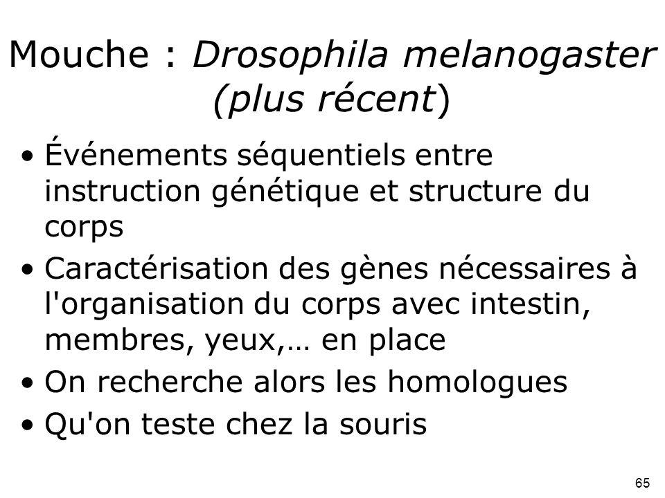 Mouche : Drosophila melanogaster (plus récent)