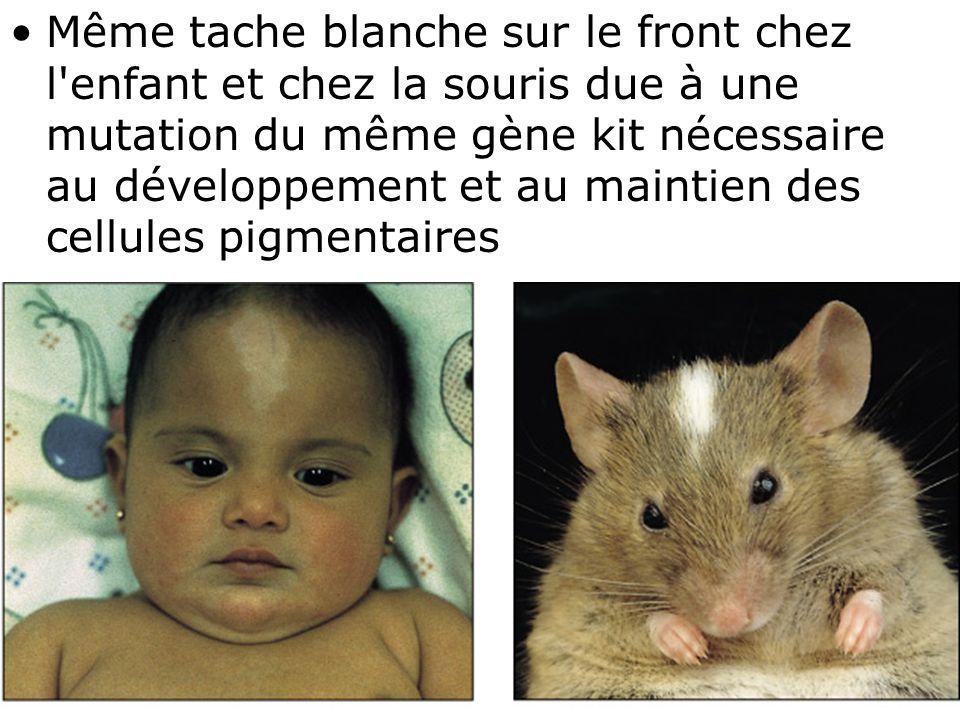 Même tache blanche sur le front chez l enfant et chez la souris due à une mutation du même gène kit nécessaire au développement et au maintien des cellules pigmentaires