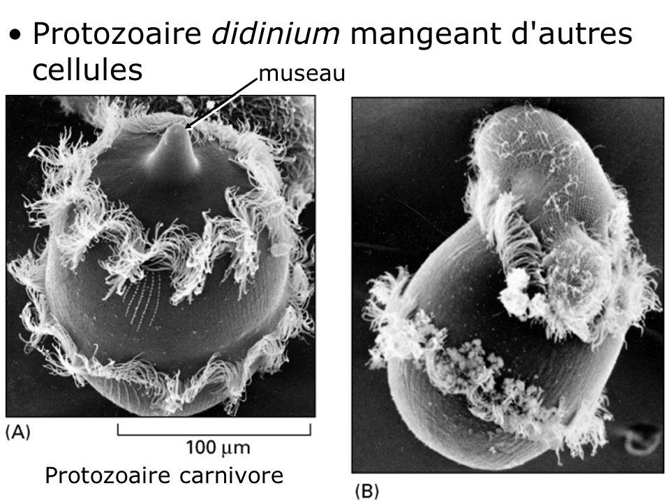 Protozoaire carnivore