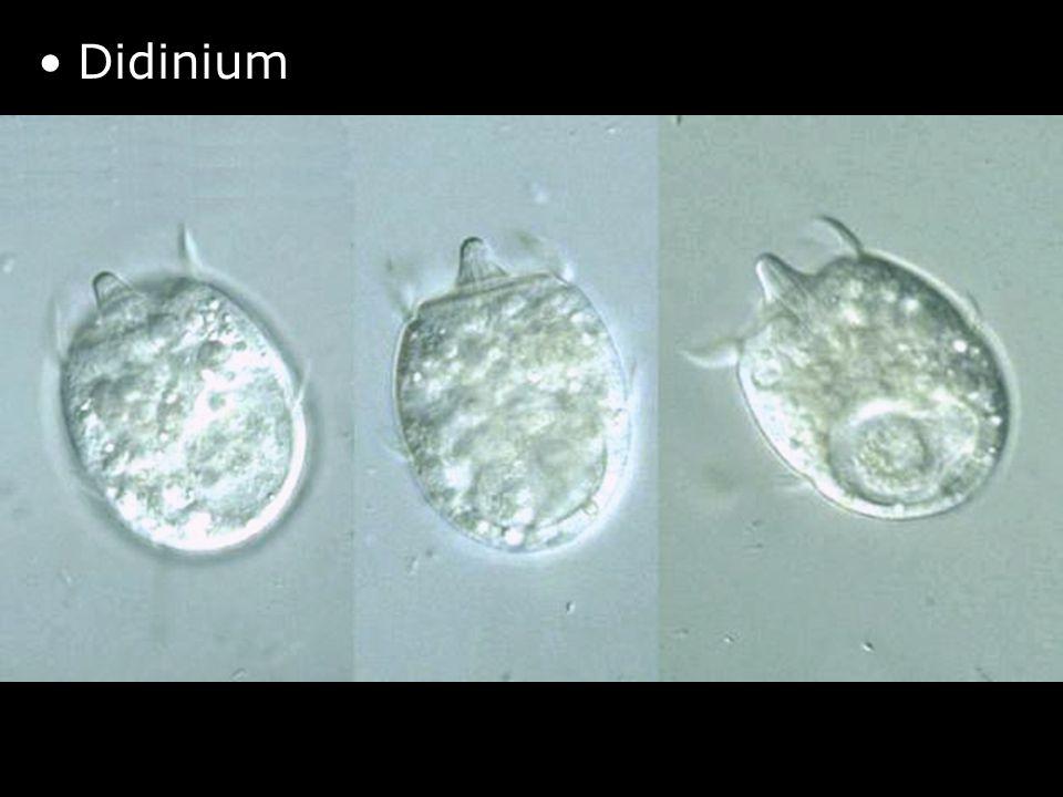 Didinium http://protist.i.hosei.ac.jp/PDB/Images/Ciliophora/Didinium/