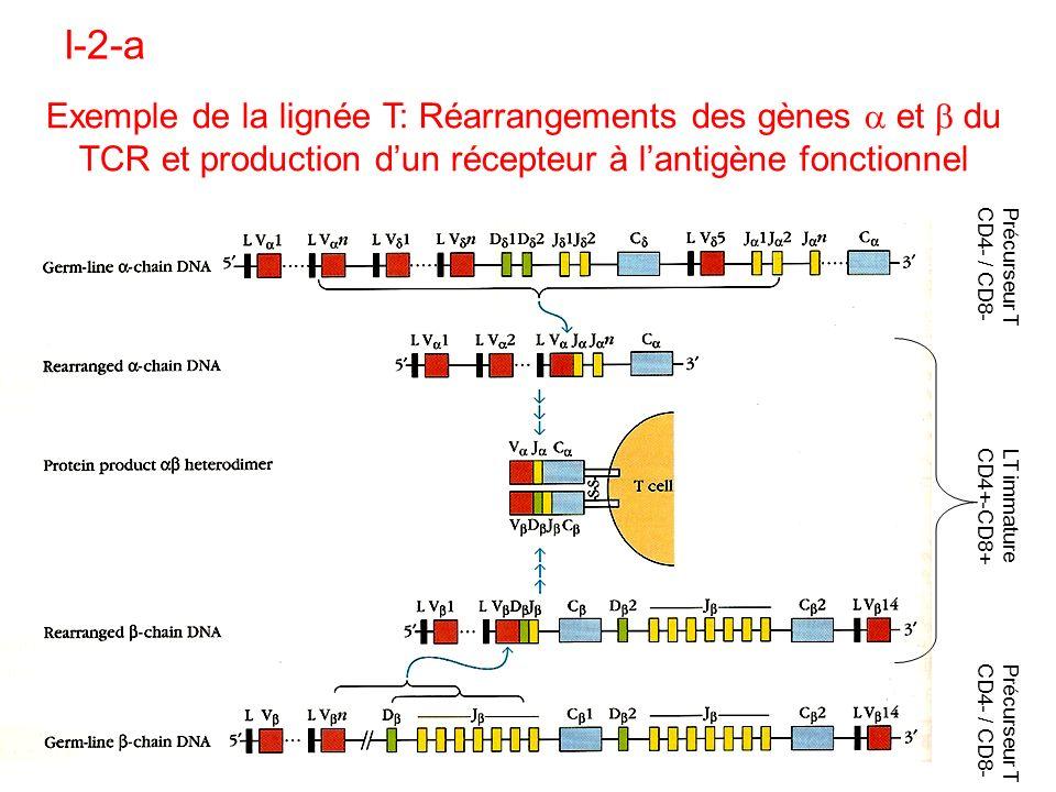 I-2-a Exemple de la lignée T: Réarrangements des gènes a et b du TCR et production d'un récepteur à l'antigène fonctionnel.