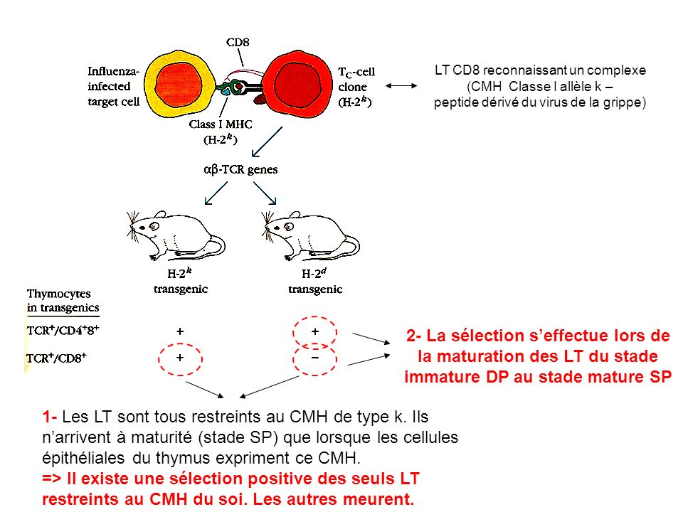 LT CD8 reconnaissant un complexe (CMH Classe I allèle k –